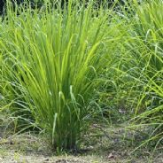 Lemon Grass (east Indian) 200 seeds - Herbs